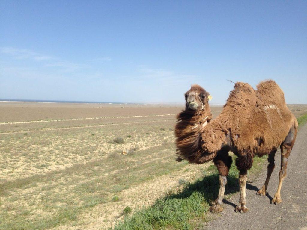 Kamel Kasachstan