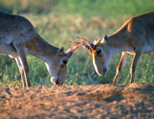 Saiga Antilopen