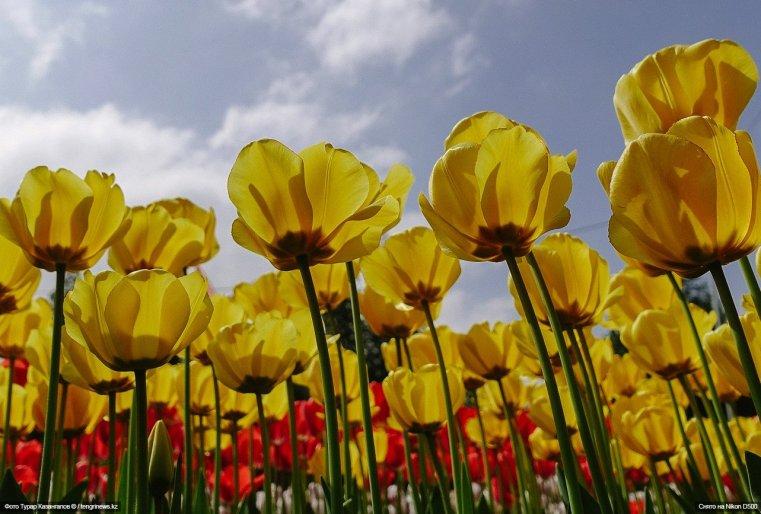 Schymkent Tulpen Blumen