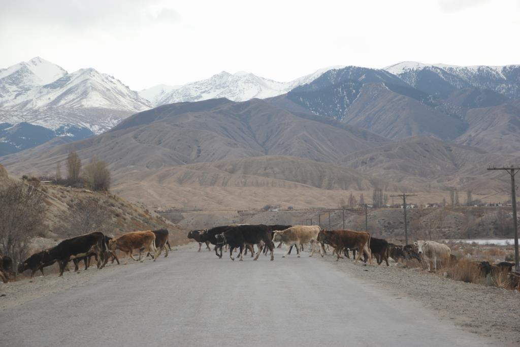 Straße Kirgistan Kuhherden
