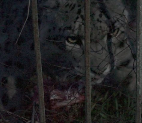 NABU Schneeleopard Issyk Kul Kirgistan Artenschutz
