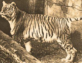 Turantiger Kaspischer Tiger