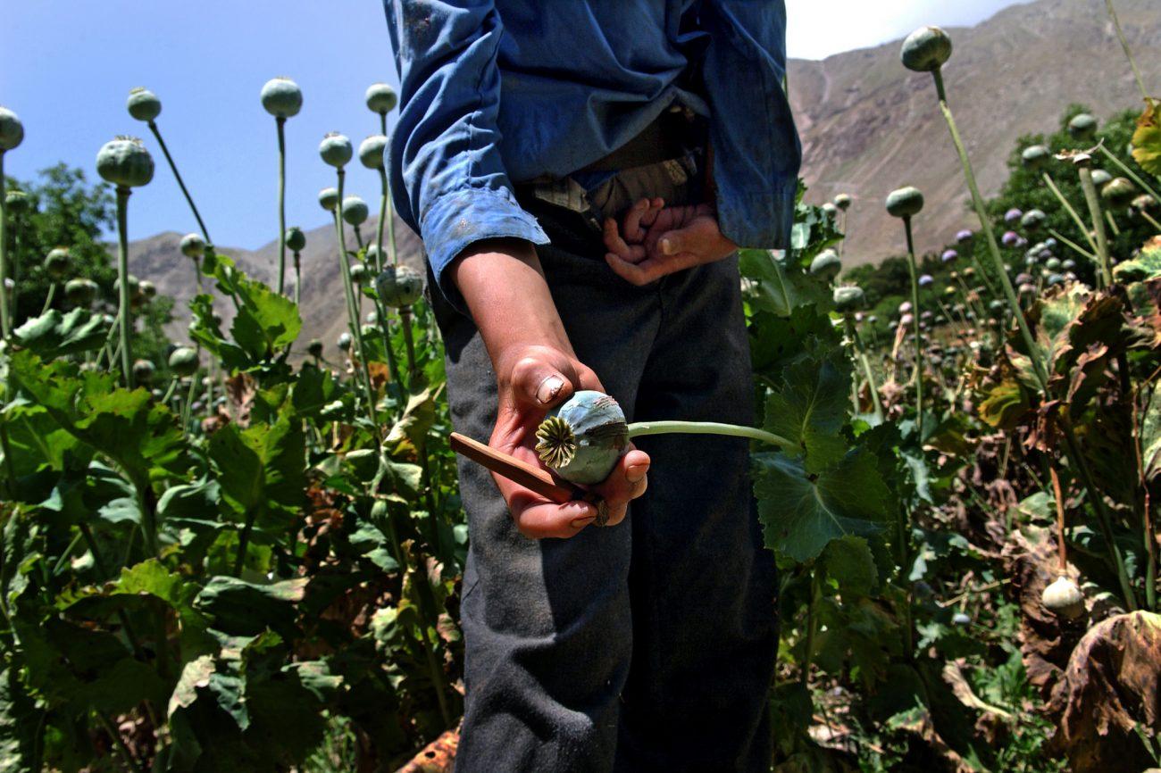 Opium Feld Mohn Afghanistan Drogen Zentralasien