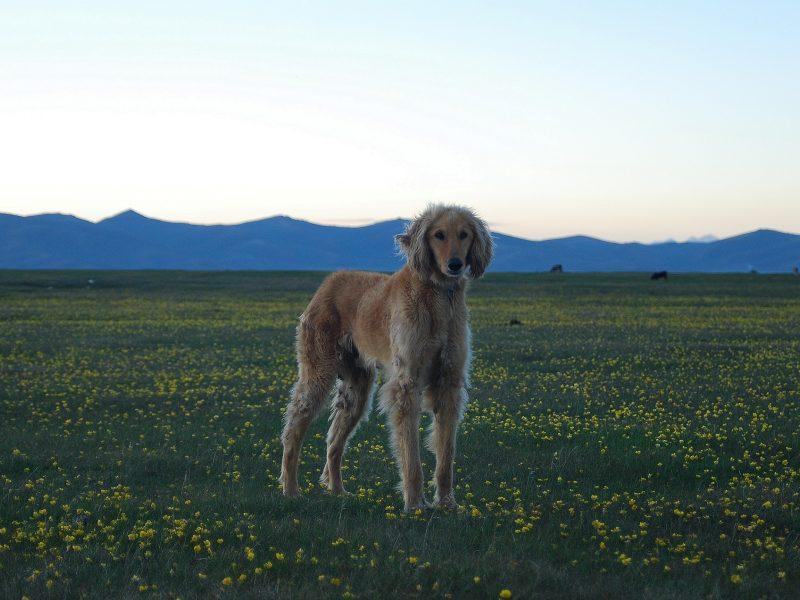 Taigan Hund Kirgistan
