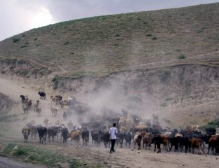 Ein Hirte treibt eine Rinderherde in den Bergen