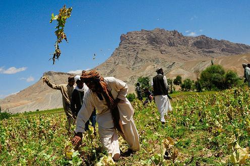 Eine Mohnplantage in Afghanistan