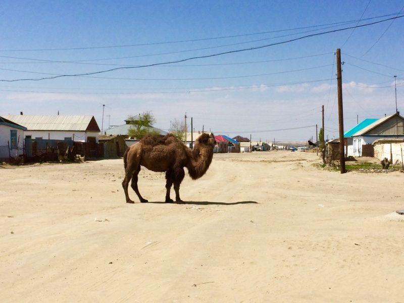 Kamel Entgangen Kasachstan Bild des Tages