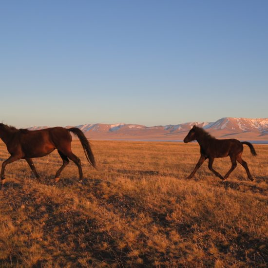 Kirgisistan Song-Köl-Sees Fohlen