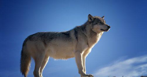 Ein Wolf steht auf einem Felsen