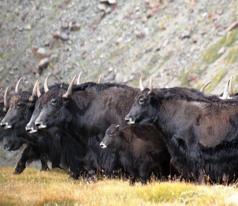 Yaks Kirgistan Issikköl