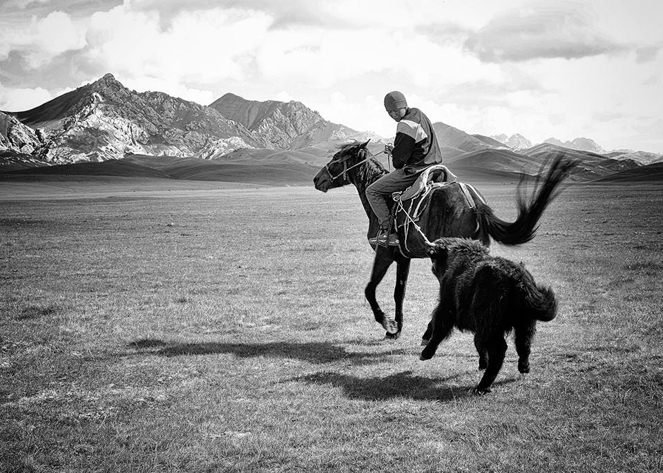 Dans une société se modernisant, les traditions d'élevage ancestrales perdurent, illustrées ici par la capture d'un jeune yak sacrifié à l'occasion d'un repas de fête.