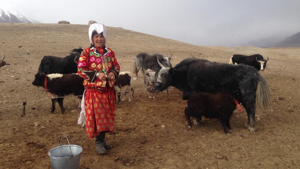 Pamir Kirghiz Afghanistan Yak