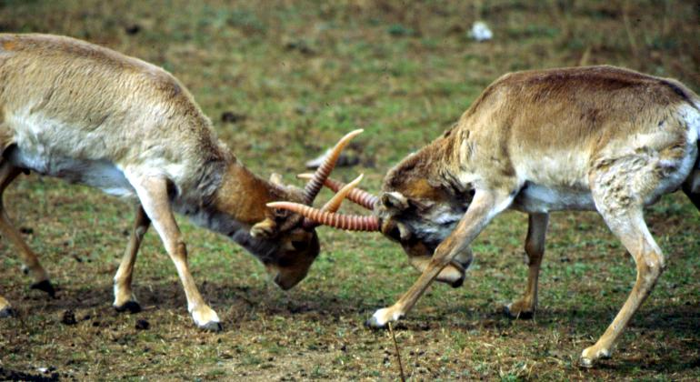 Saïga Kazakhstan antilope corne combat