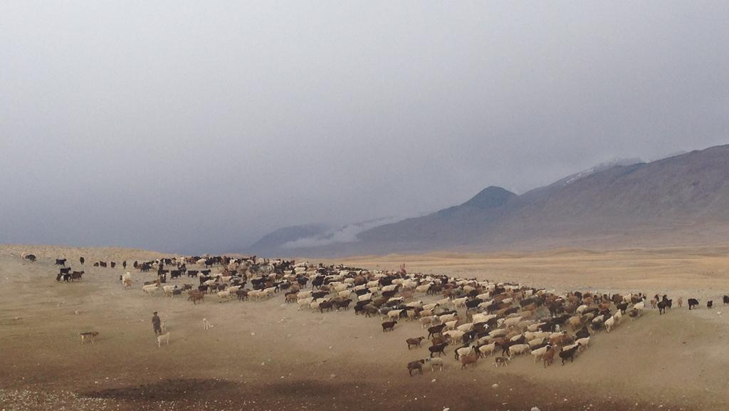 Pamir Kirghiz Afghanistan Mouton Troupeau Plateau
