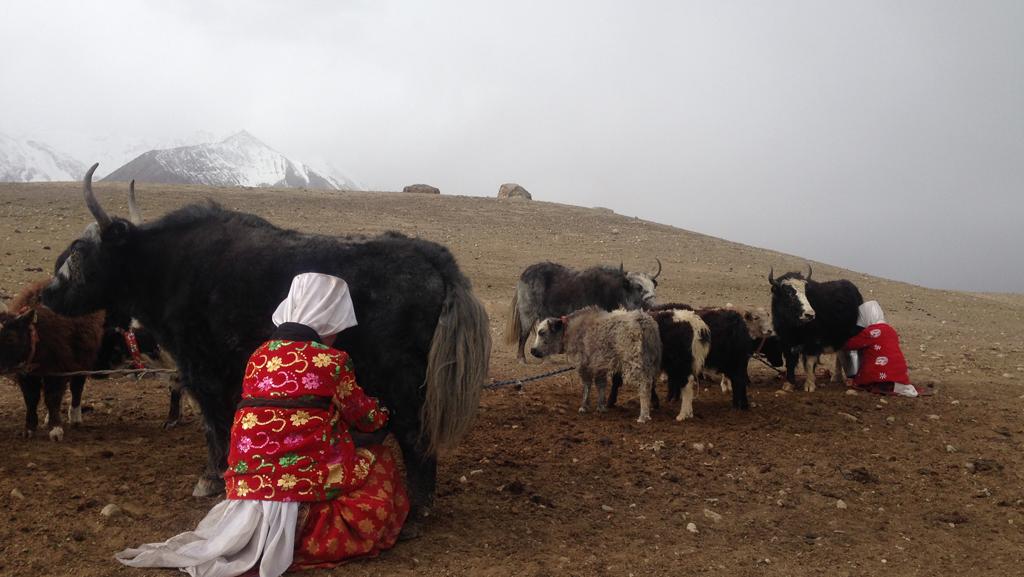 Pamir Kirghiz Afghanistan Yak Traite Lait