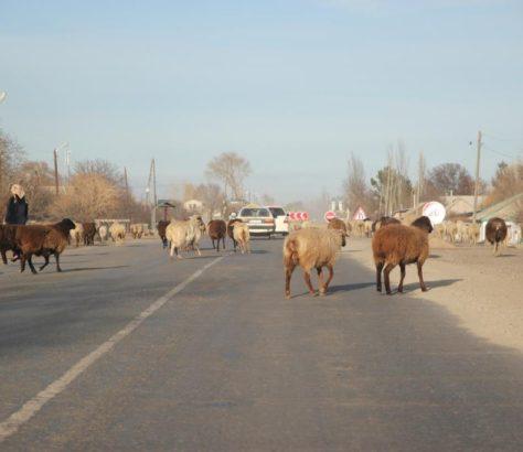 Mouton Kirghizstan Route Traverser Taxi Voiture