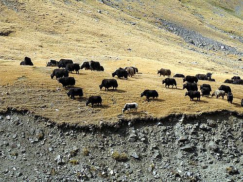 Yaks in Kyrgyzstan