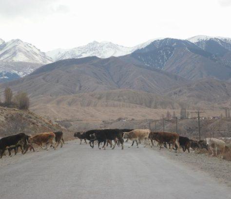 Bovins Route Kirghizstan