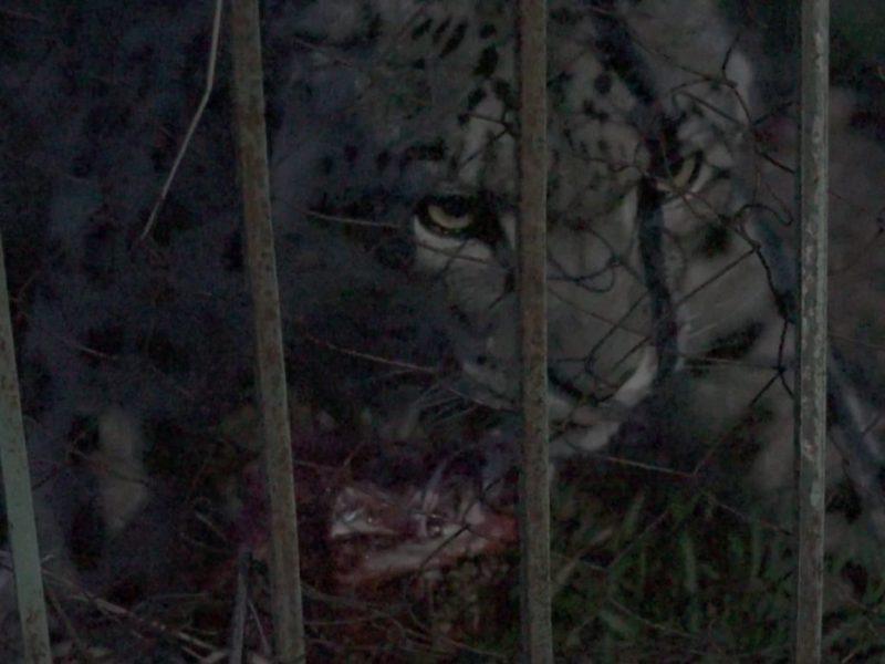 Léopard des Neiges Panthère Kirghizstan