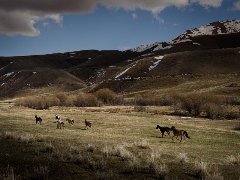 Chevaux au Kirghizstan