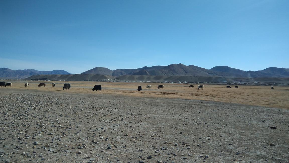Troupeau Yaks Vallée Mourghab Tadjikistan