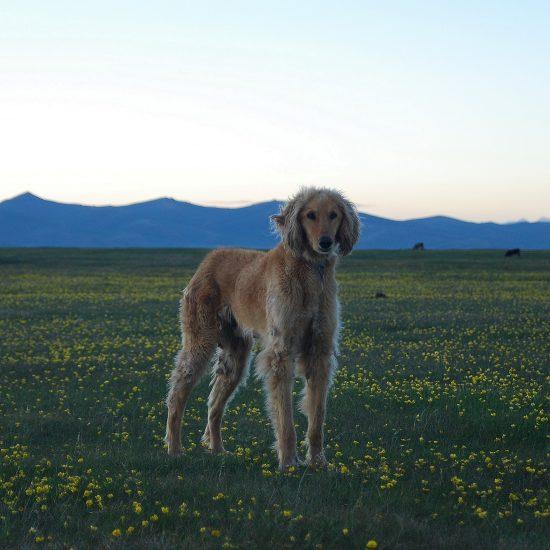 Taigan chien Kirghizstan