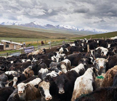 Yak Ferme Kirghizstan Élevage