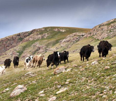 Les Yaks sont conduits sur la pente raide de l'alpage.