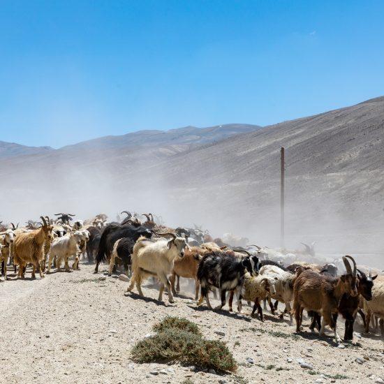 Photo du Jour Tadjikistan Pamir Chèvre