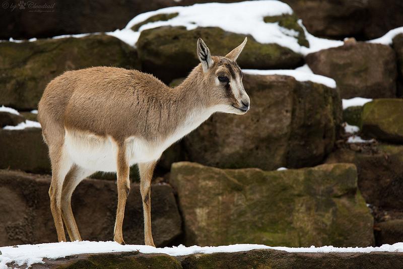 Gazelle de Perse Animal Asie centrale