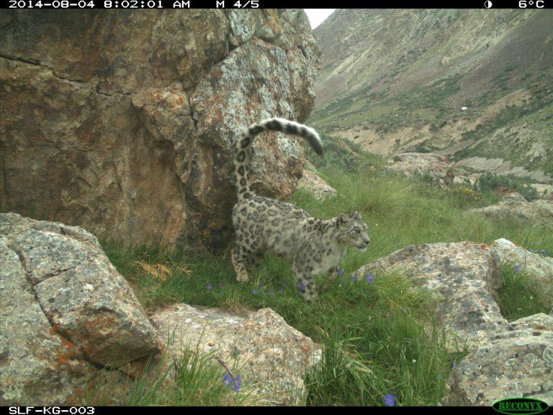 Léopard des neiges, caméra, Sarychat, Snow Leopard Trust