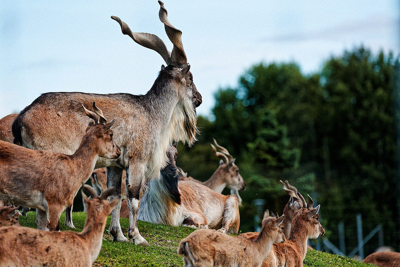 Markhor Animal Asie centrale