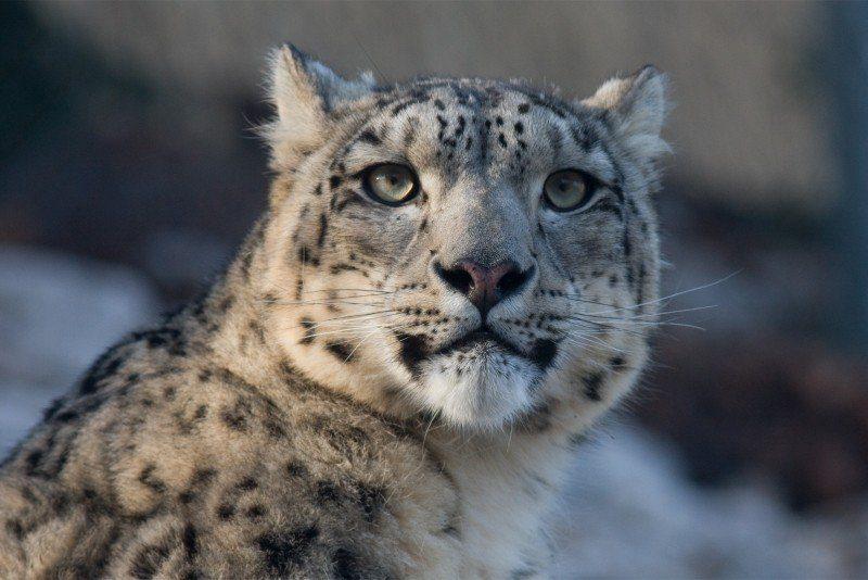 Léopards des neiges Animal menacé Asie centrale