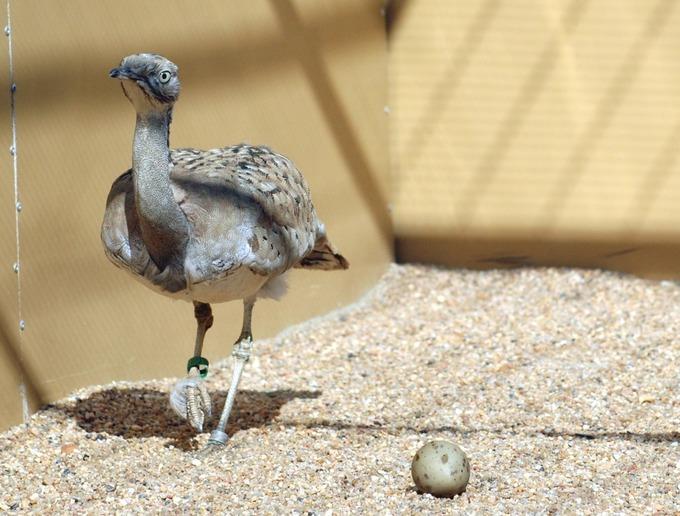 Outarde de Macqueen Oiseau menacé Environnement Ouzbékistan