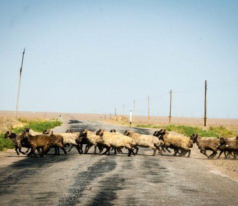Tadjikistan Asie Centrale Troupeau Chèvres Route Pâturage