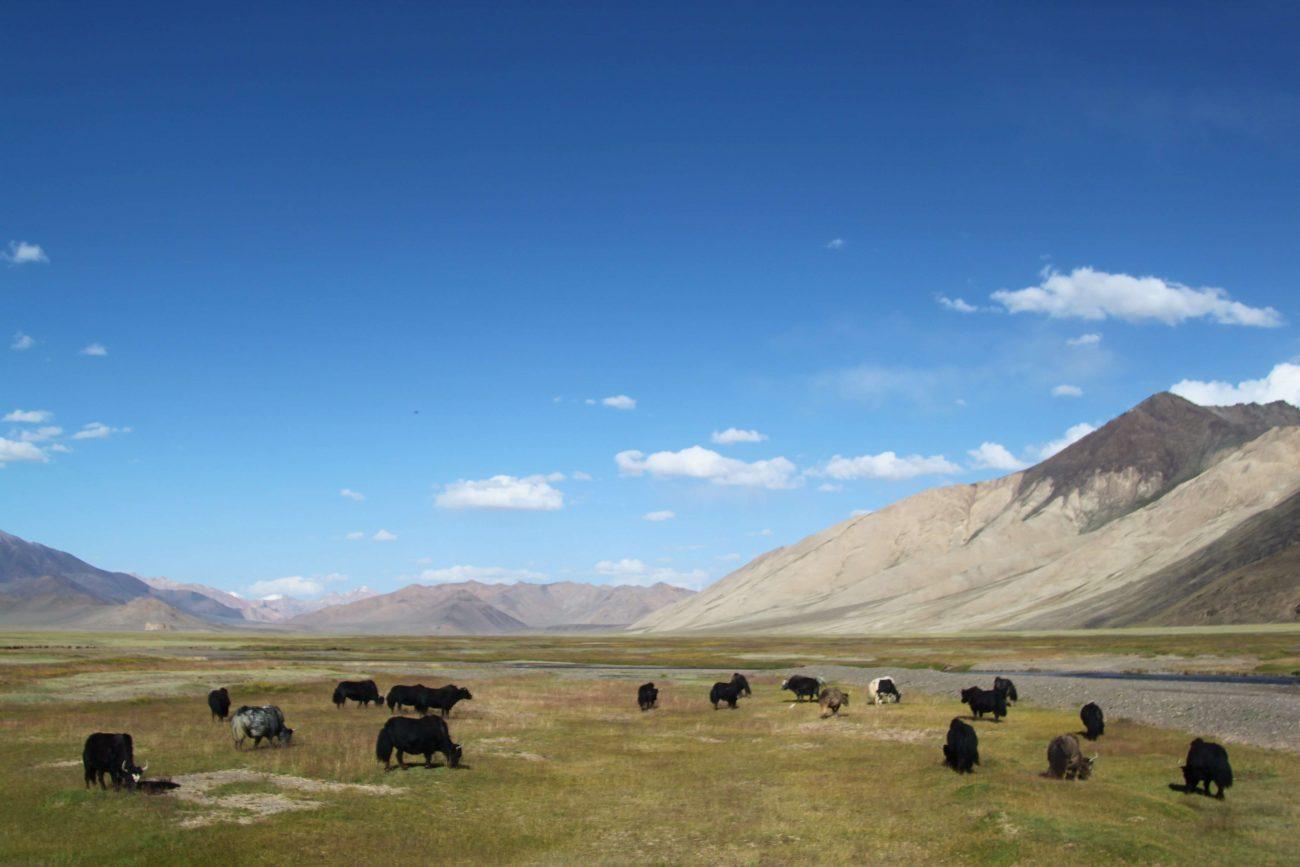 Pamir Pâturage Yacks Tadjikistan