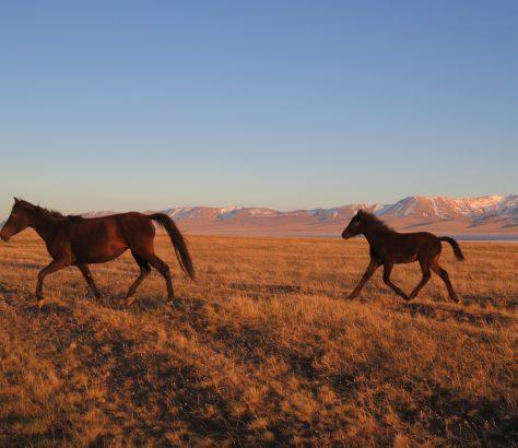 Kirghizistan SonKoul Poulain