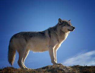 Loup Tadjikistan Gorno-Badakhchan Fusil Chasse