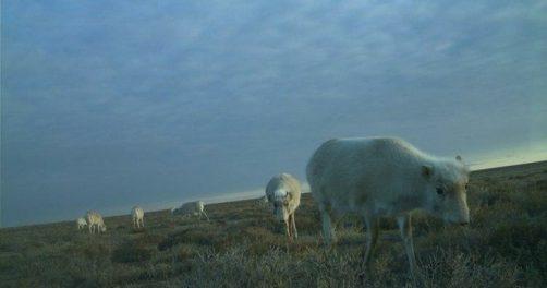 Saïga Ouzbékistan Antilope Espèce Animale Saigachiy