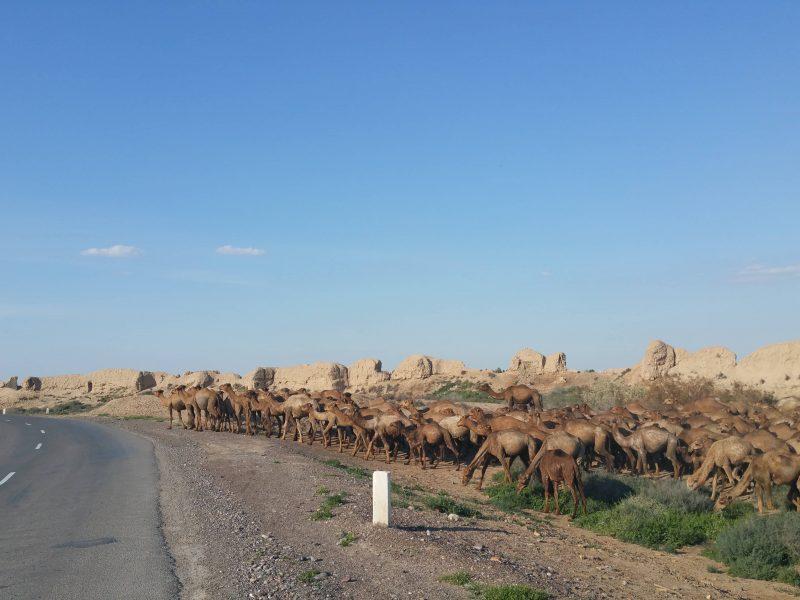 Turkménistan Merv Pâturage bétail