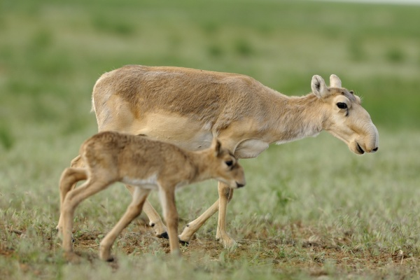 Antilopes Saïga Kazakhstan Braconnage Chasse Disparition Environnement