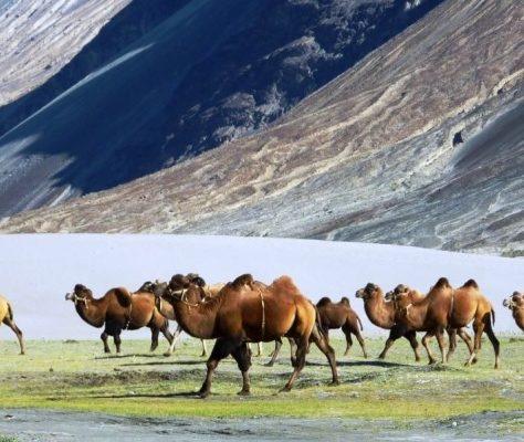 Photo de chameaux