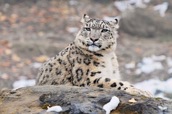 léopard des neiges Asie centrale espèces menacées